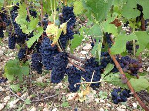 Grappes de Pinot Noir
