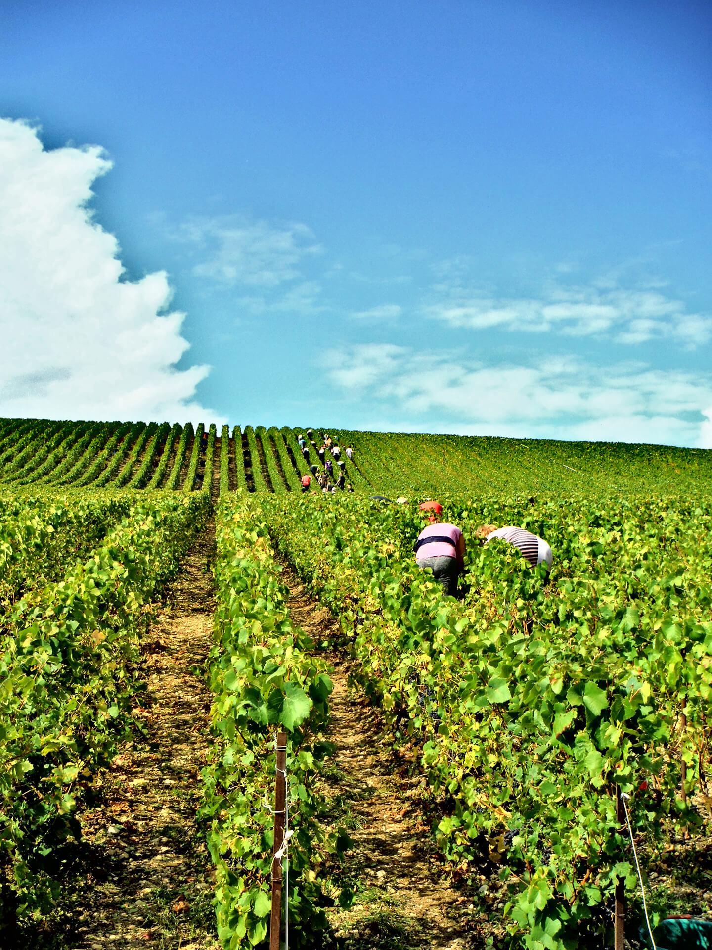 Travailleurs cueillant le raisins pendant les vendanges (2016).